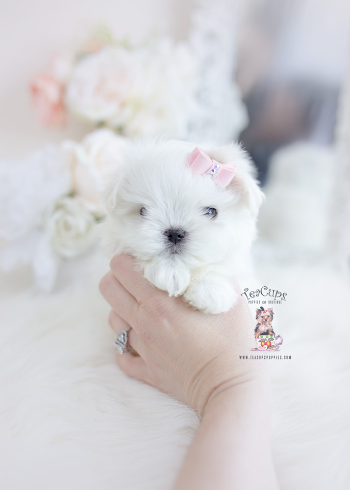 Toy and Teacup Maltese Puppies