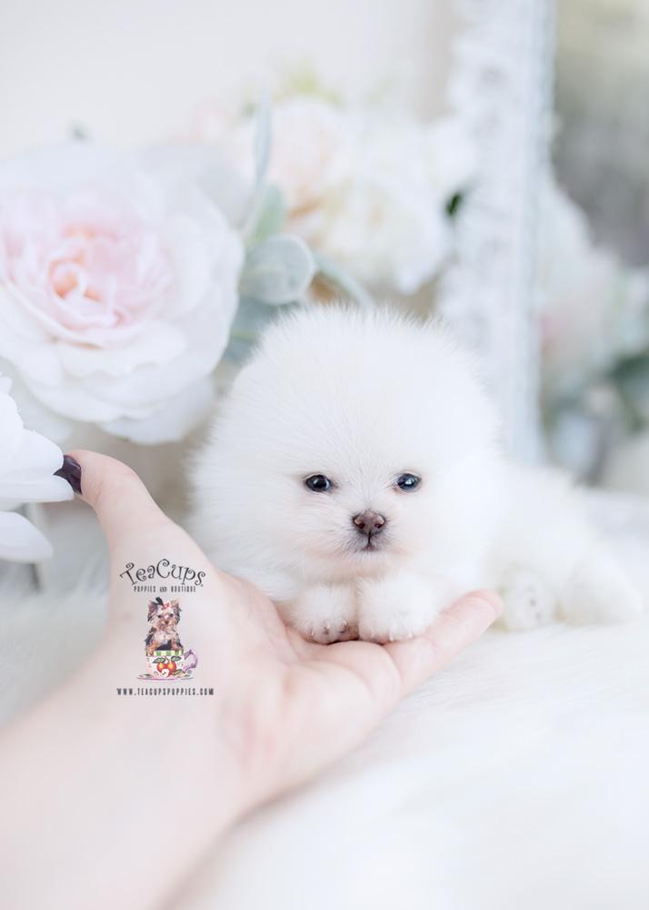 Tiny Teacup Pomeranian Puppy