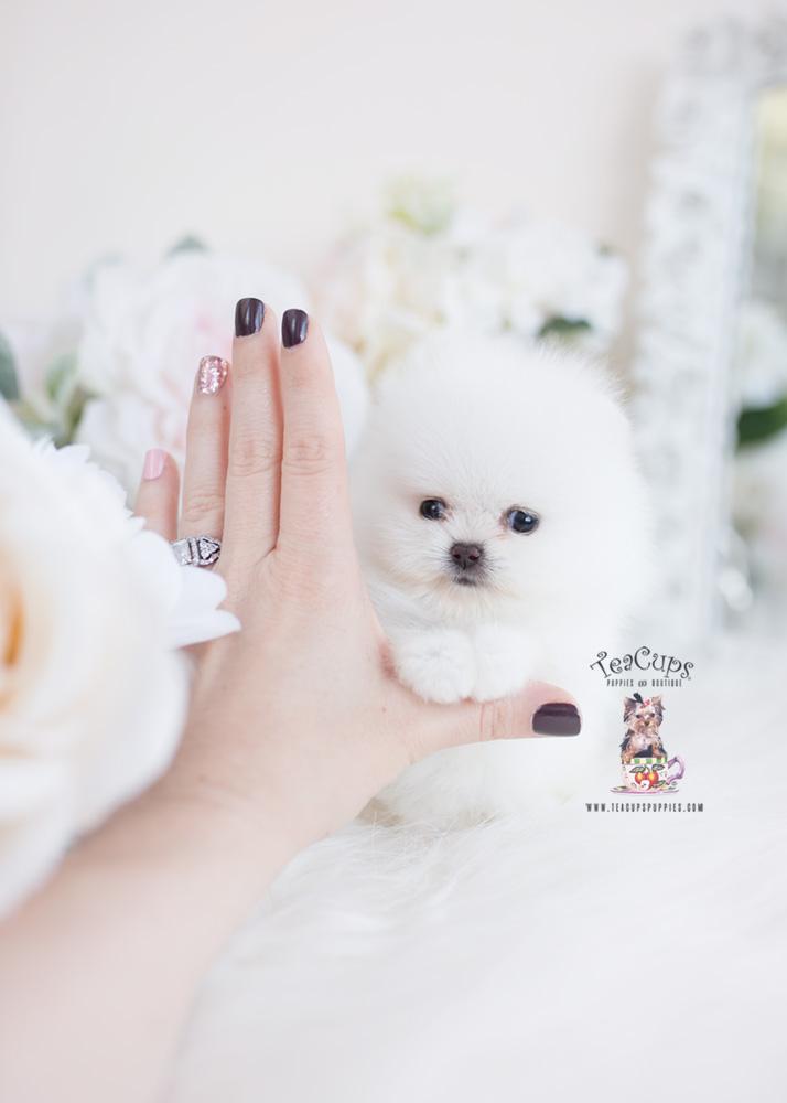 White Micro Teacup Pomeranians | Teacup Puppies & Boutique - photo#50