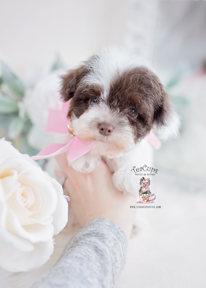 Toy Poodle Puppies South Florida