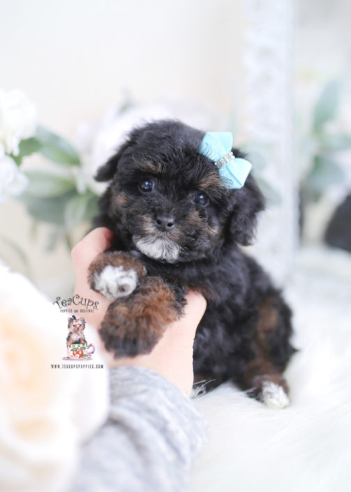 Cute Toy Poodle Puppy For Sale