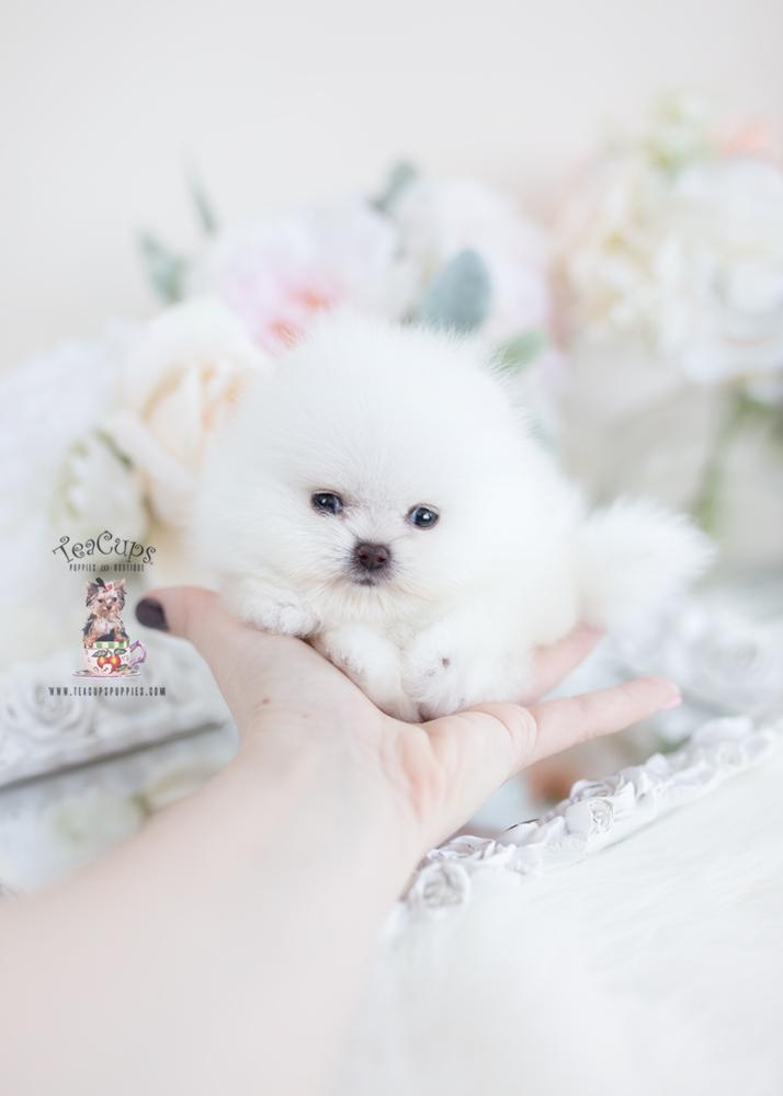 White Micro Teacup Pomeranians | Teacups, Puppies & Boutique