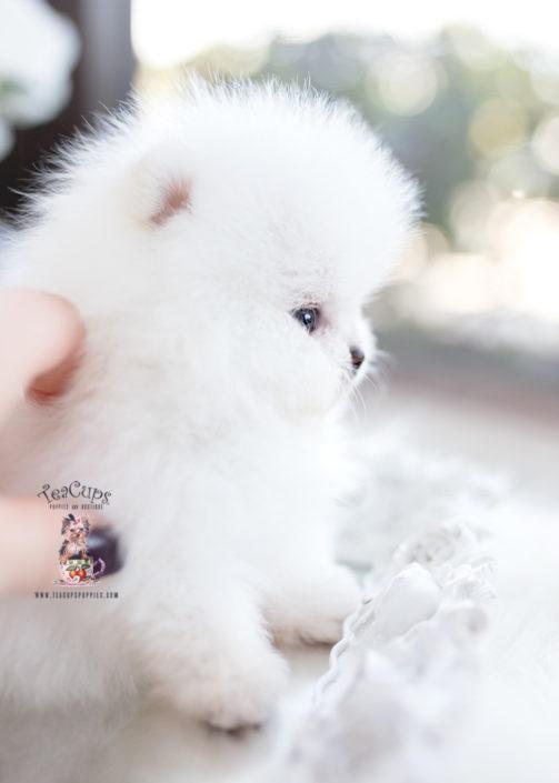 White Micro Teacup Pomeranian