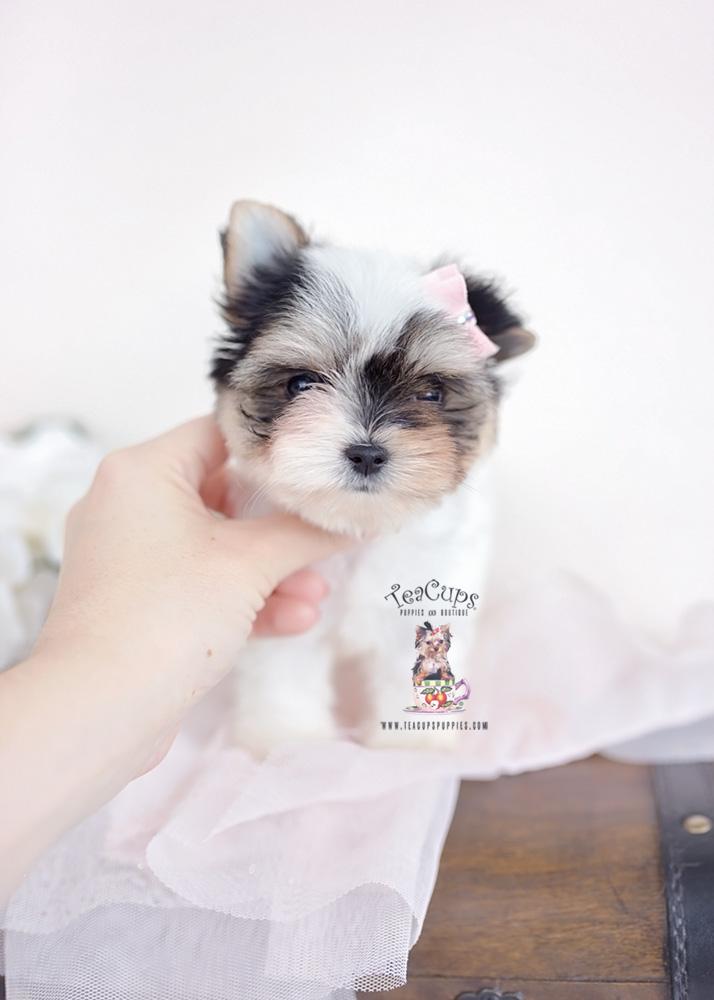 Biewer Terrier Puppy by TeaCup Puppies