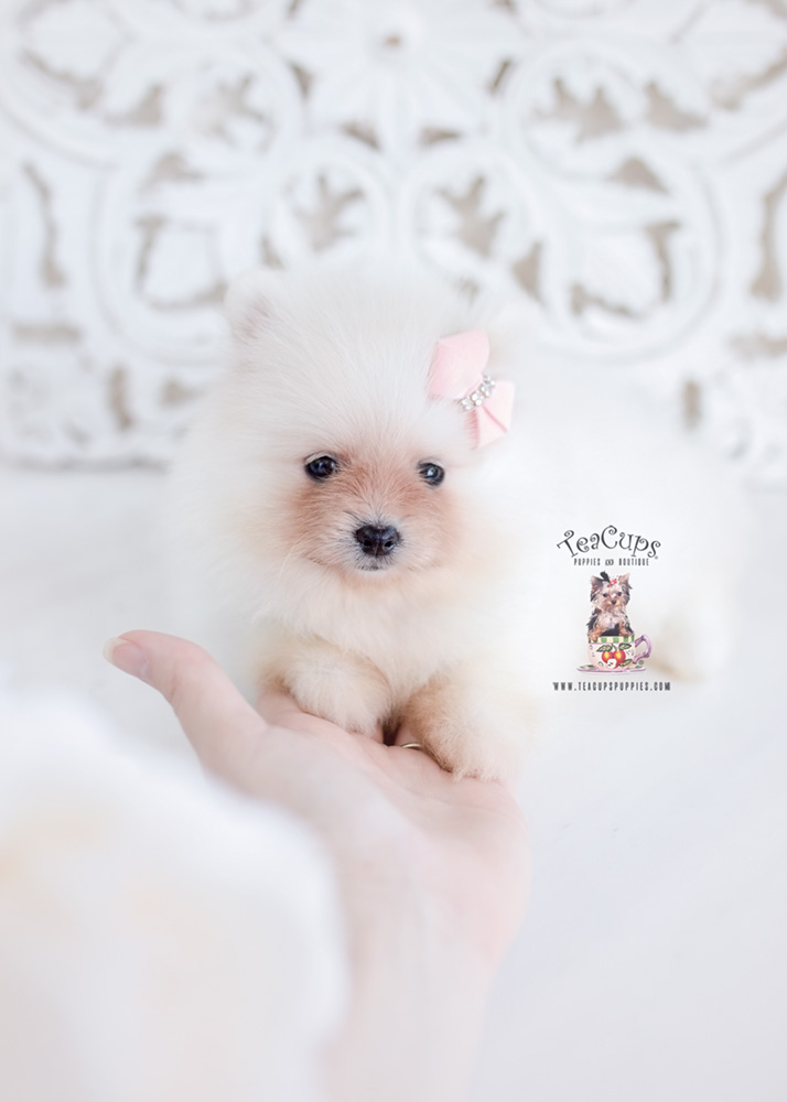 Pomeranian by TeaCup Puppies