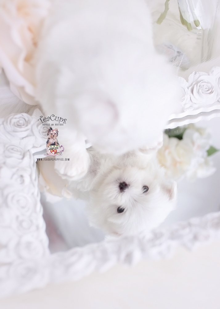 Toy and Teacup Maltese Puppies in Florida