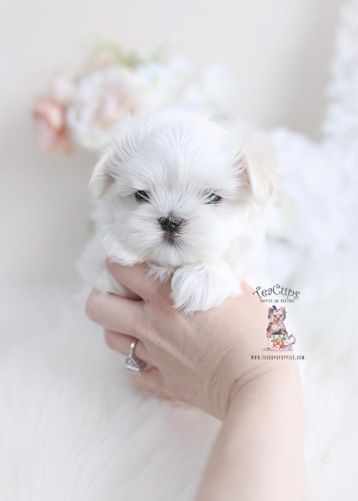 Teacup Maltese Breeder   Teacup Puppies & Boutique
