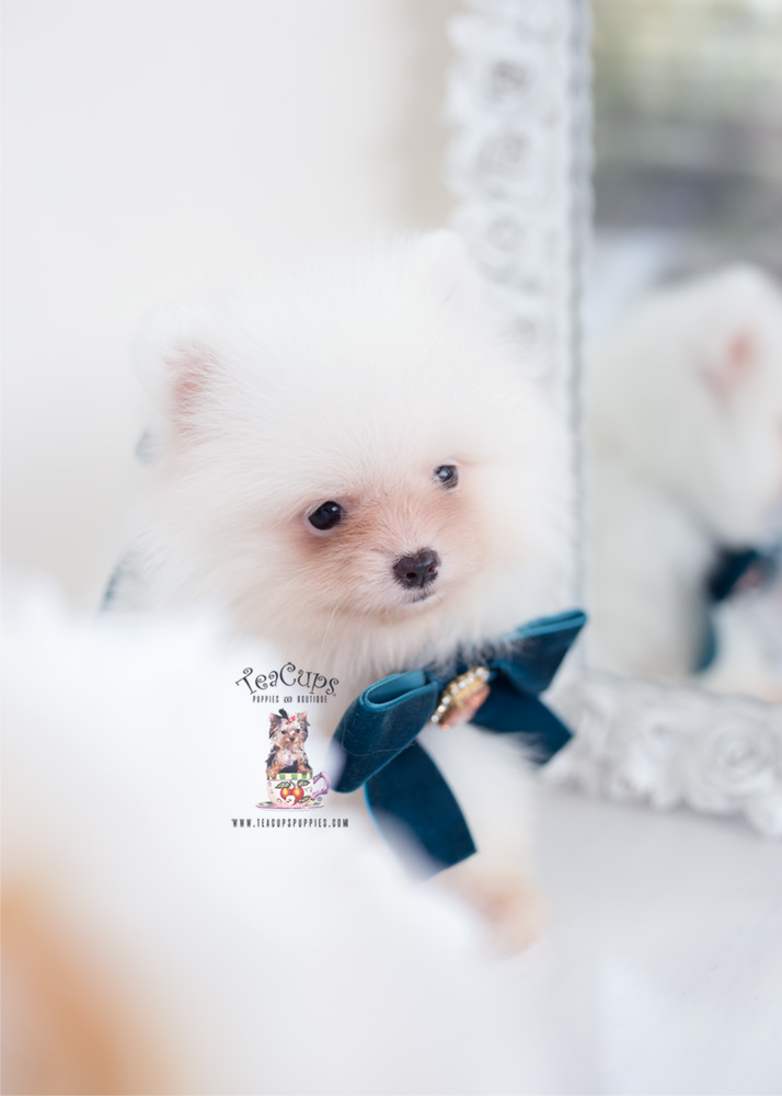 Cream Pomeranian Puppies Near Miami