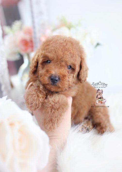 Apricot Poodle Puppy