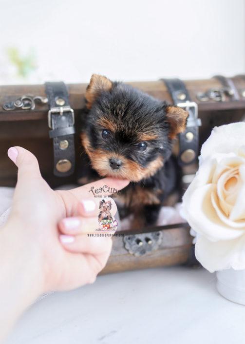 Toy and Teacup Yorkie Puppies