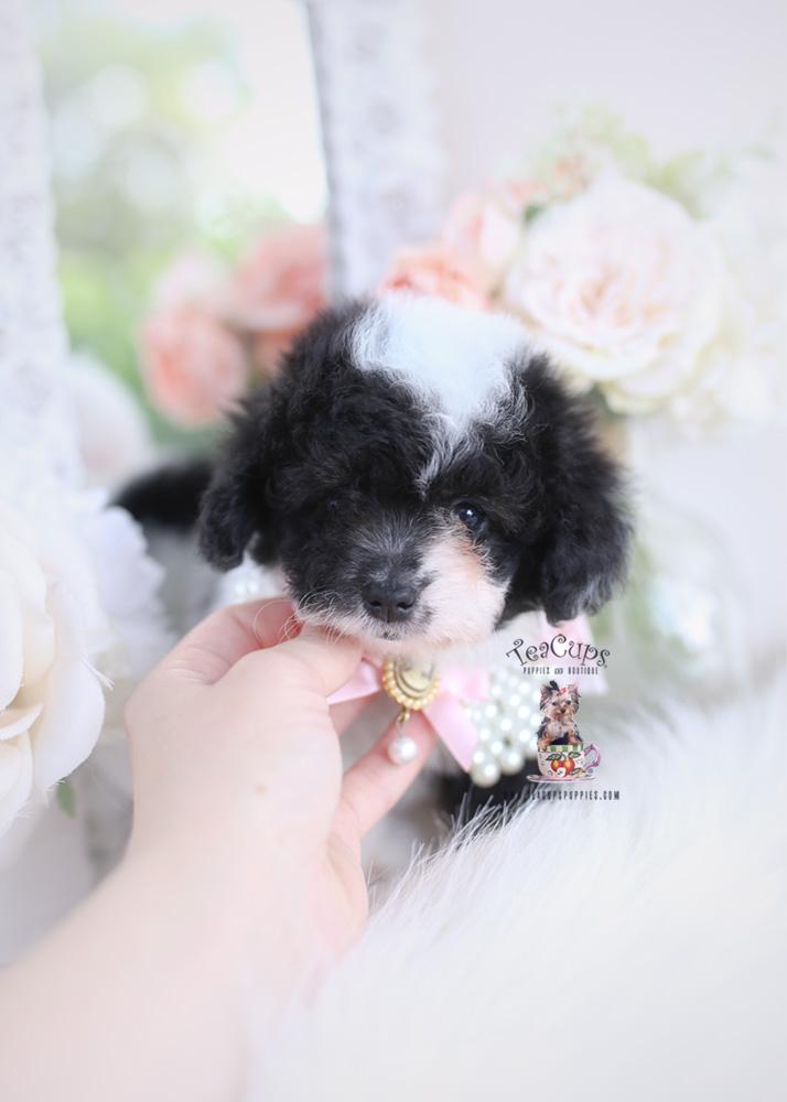 Toy Poodle Puppy #187 | Teacups, Puppies & Boutique