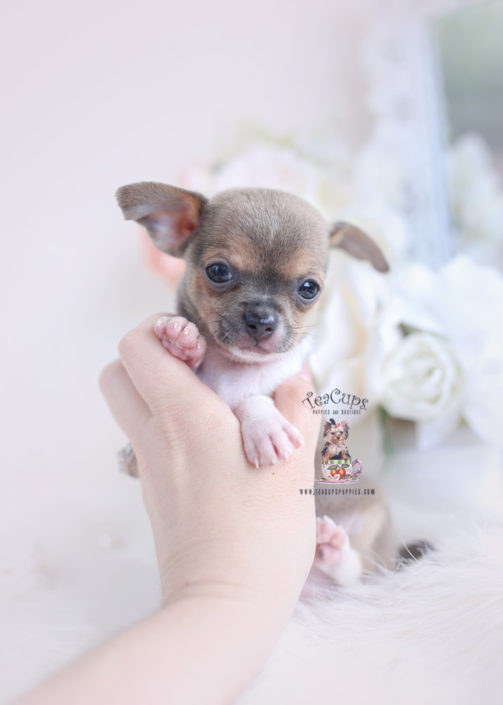 Teacup Chihuahuas and Chihuahua Puppies For Sale by TeaCups, Puppies