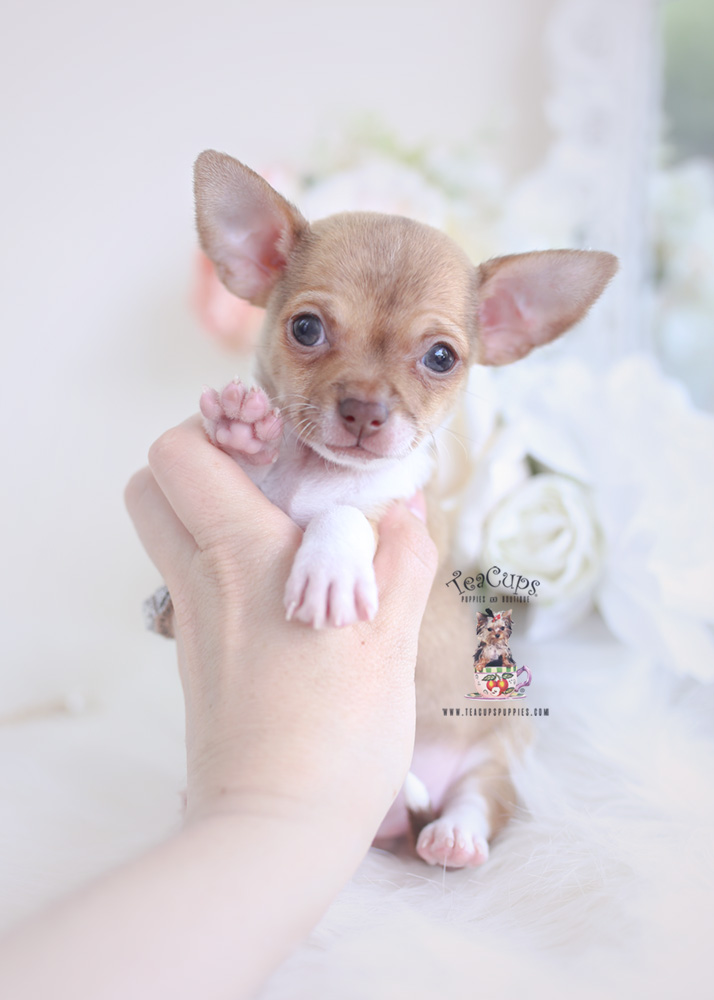 Chihuahua Puppy #175   Teacup Puppies & Boutique