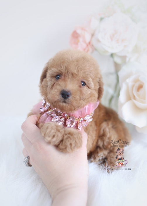 Miniature Poodle For Sale Florida All Miniature