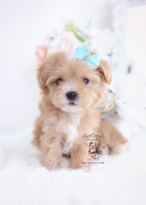 Morkie Puppies and Designer Breed Puppies For Sale by