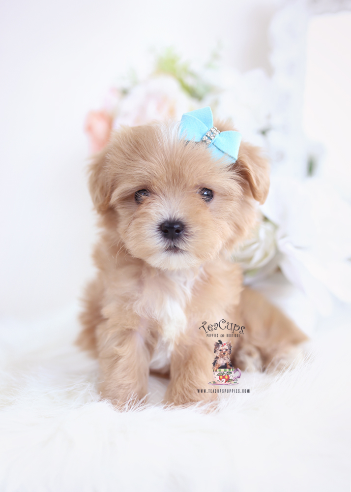 Apricot Maltipoo Puppies Teacup