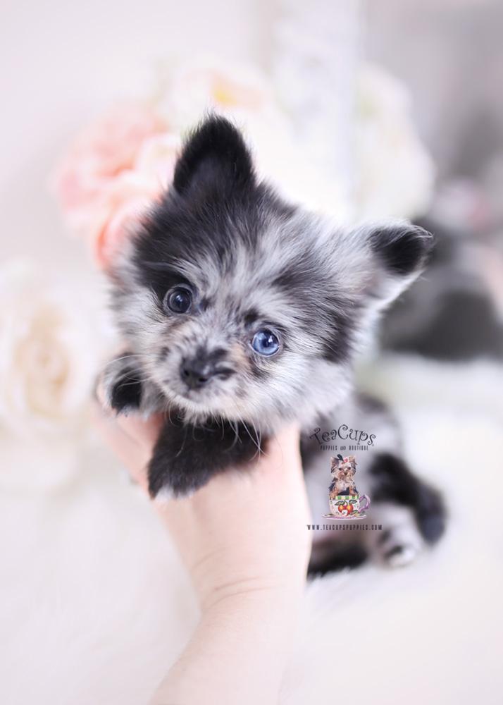 Merle Pomeranian Puppies Fl Teacups Boutique