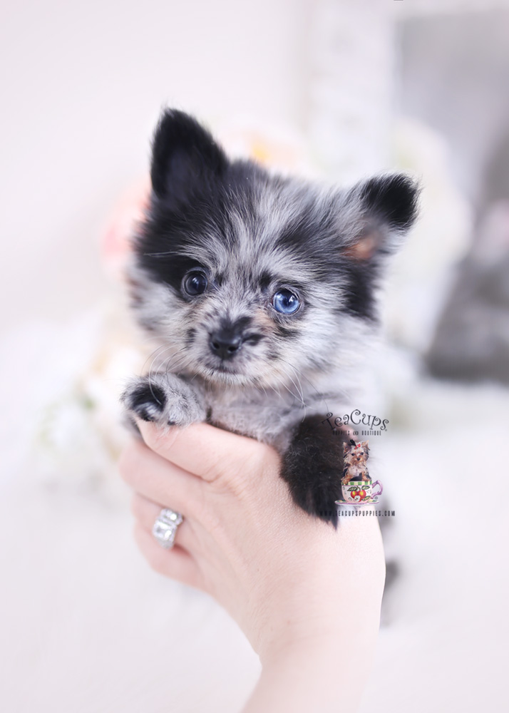 Merle Pomeranian Puppies Fl Teacups