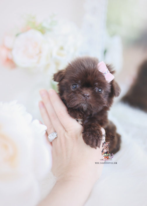 Imperial Shih Tzu Puppies For Sale by TeaCups, Puppies & Boutique