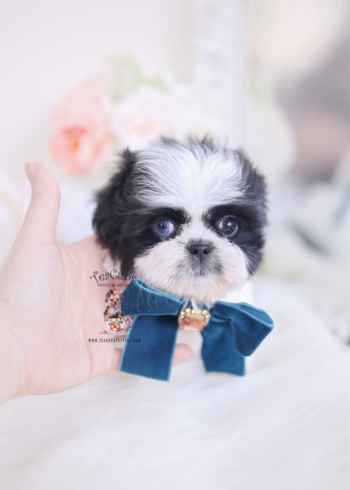 Imperial Shih Tzu Puppies For By Teacups