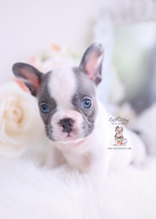 French Bulldog Puppies For By