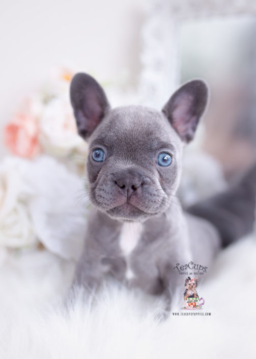 French Bulldog Puppies For Sale by TeaCups, Puppies