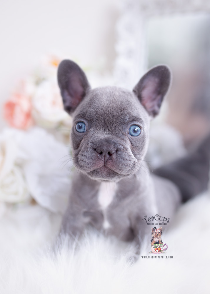 Lilac Frenchie Puppies For Sale Teacups Puppies Boutique