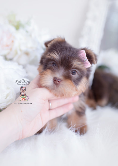 Toy or Teacup Yorkies for sale | Teacups, Puppies & Boutique