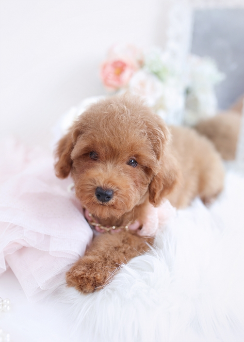 red poodle puppy for sale
