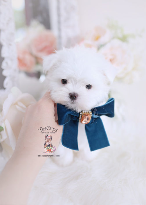 Toy Teacup Puppies For Sale | Teacups, Puppies & Boutique
