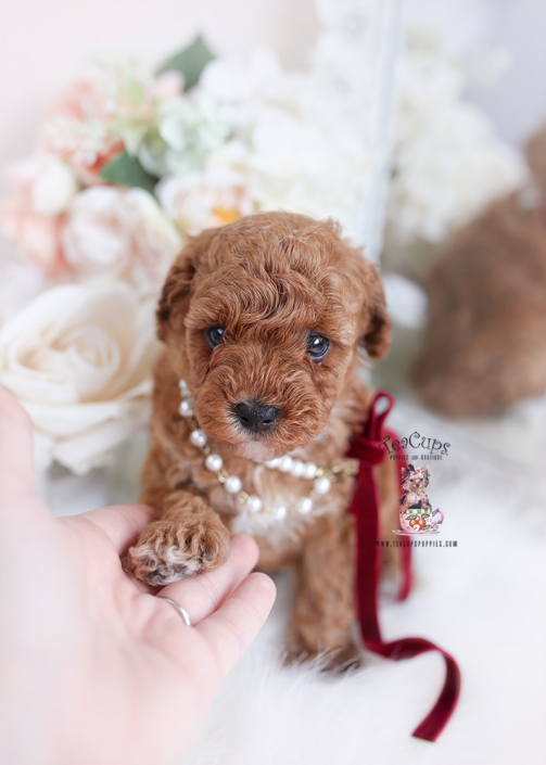 red toy poodle teacup puppies