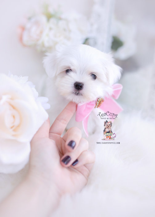Teacup And Toy Maltese Puppies Teacup Puppies Boutique