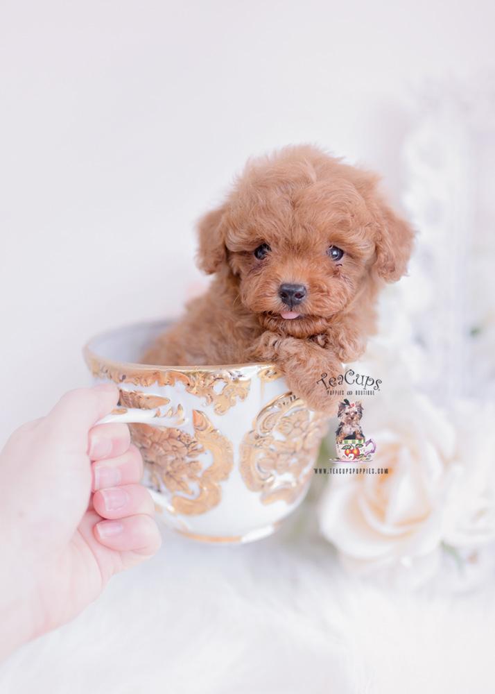 Tiny Toy Poodle Puppies Miami Fl