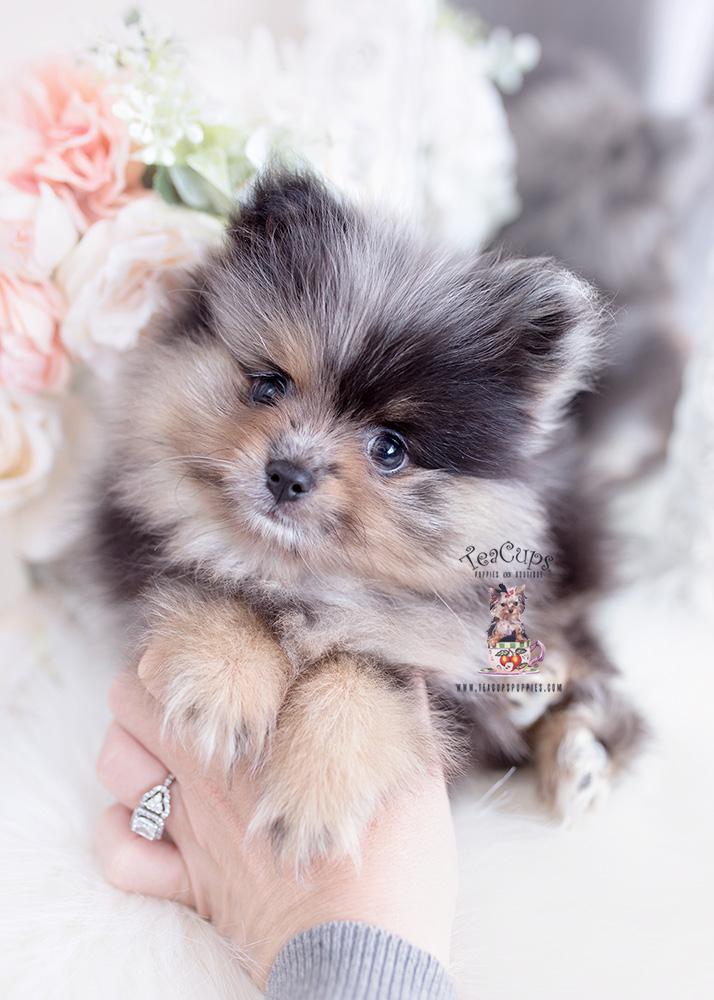 merle pomeranian puppy