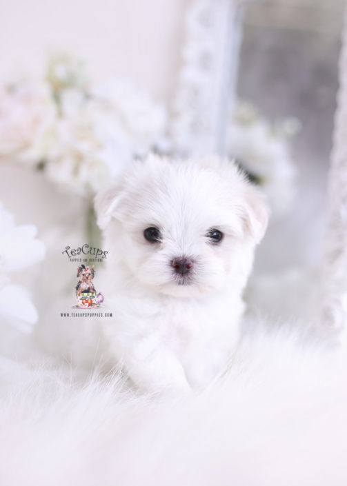 Teacup And Toy Maltese Puppies