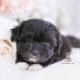 malshi puppy