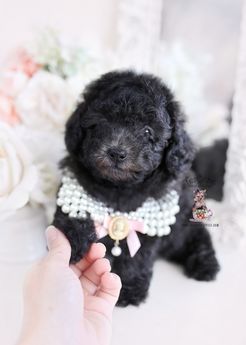 blue silver toy poodle