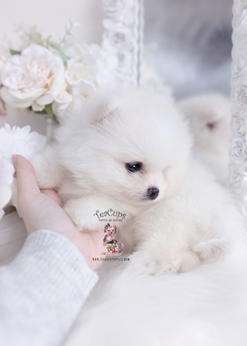 Tiny Teacup Pomeranian Puppies | Teacups, Puppies & Boutique