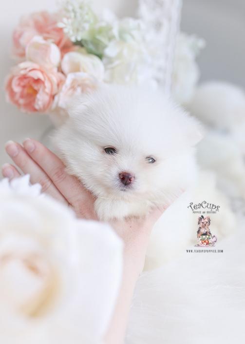 tiny white pomeranian puppy