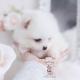 white pomeranian teacup puppies