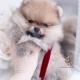 FLuffy Pomeranian