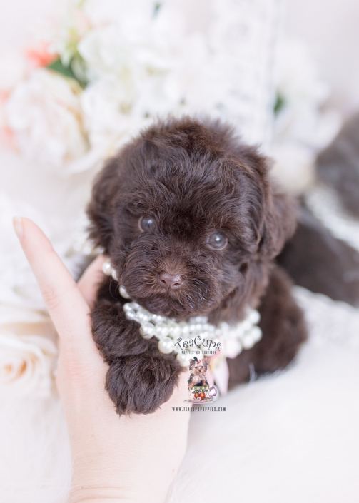 chocolate toy poodle puppy