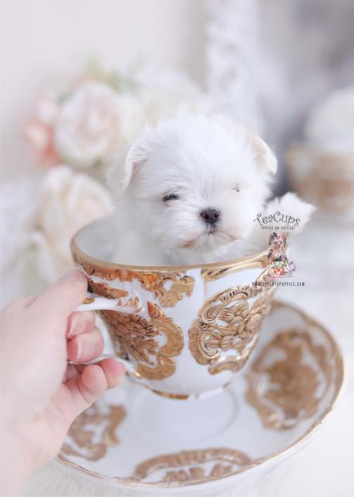 teacup maltese puppies