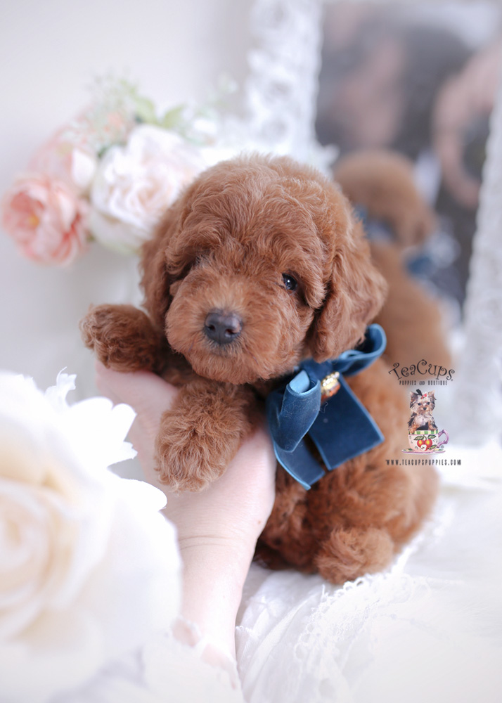 Adorable Toy Poodle Puppy