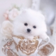 Pomeranian Teacup Puppies
