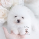white pomeranian puppy teacups
