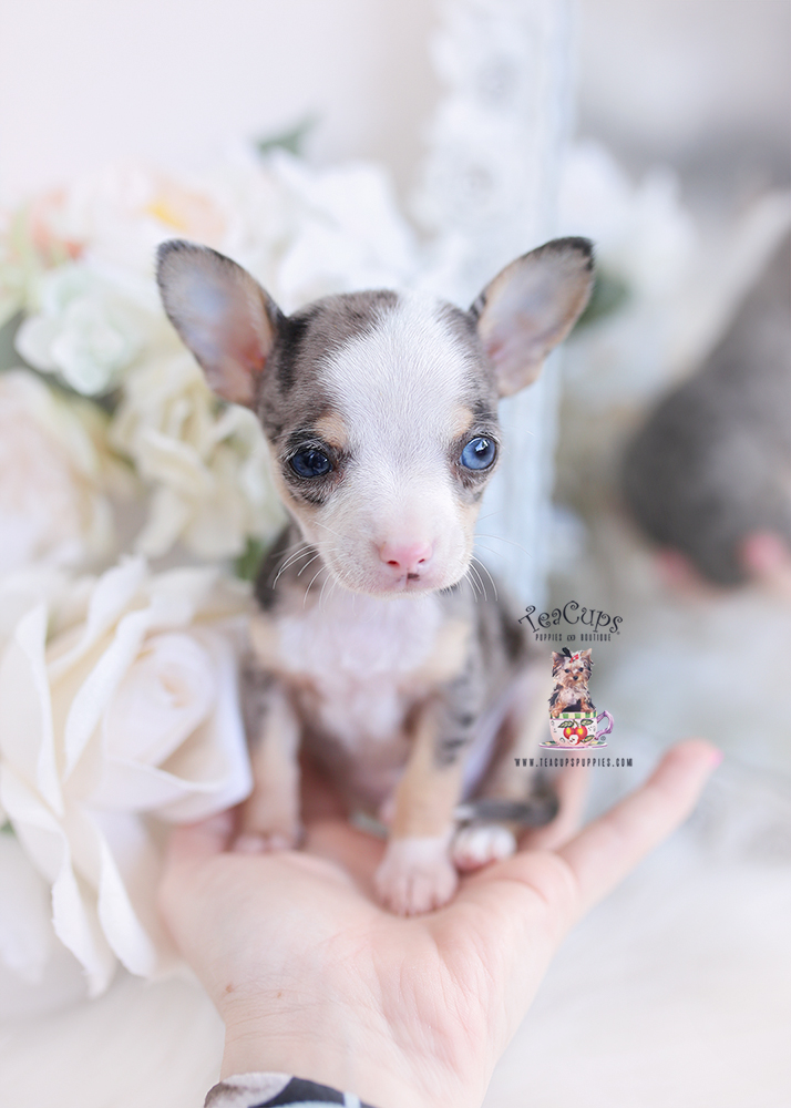 merle chihuahua puppy