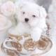 Toy Maltese Pocket Puppy
