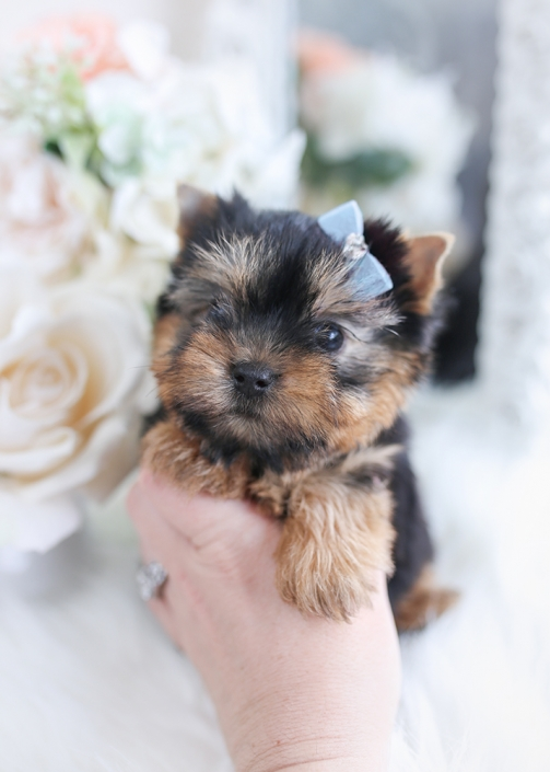 yorkie puppies florida