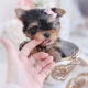 tiny yorkie puppy in a teacup